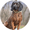 Bavarian Mountain Scent Hound