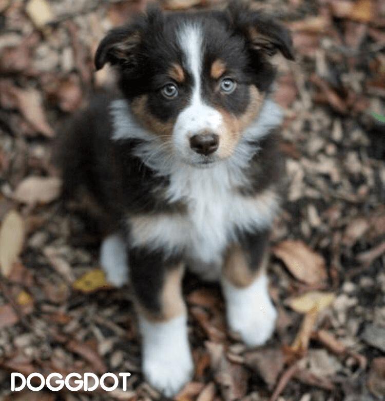 Australian Shepherd Husky