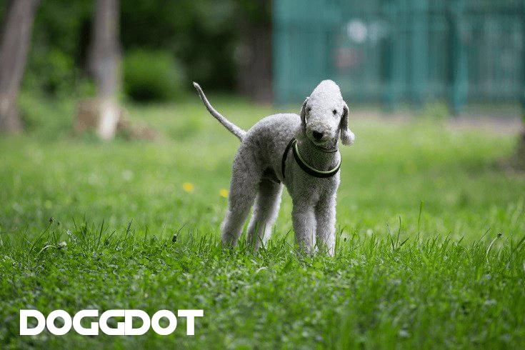 Bedlington Terrier 2