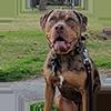 Catahoula Bulldog