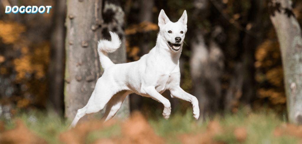 Canaan Dog 2