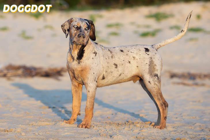 Catahoula Leopard Dog 2