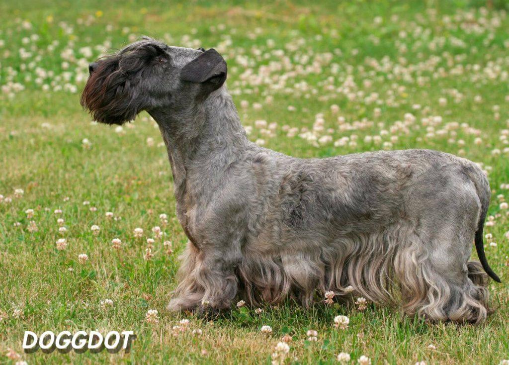 Cesky Terrier 2