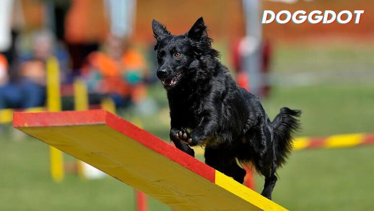 Croatian Sheepdog 2